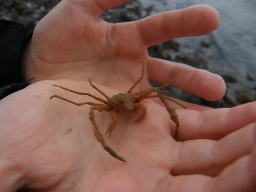 Another tiny spider crab
