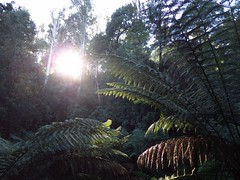 2014-08-10 Lilydale Falls 013 - Sunlight on ferns