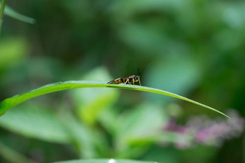 09780 Ichneumon Wasp