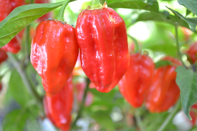 DSC_0757 | Bhut Jolokia Peppers Ghost Peppers | By: benloudman ...