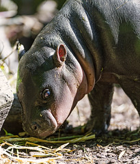 Baby pigmy hippo sniffing the ground