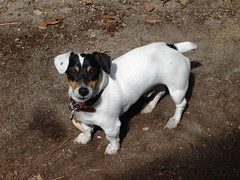 danish swedish farmdog(0.0), puppy(0.0), russell terrier(0.0), jack russell terrier(0.0), dog breed(1.0), animal(1.0), dog(1.0), ratonero bodeguero andaluz(1.0), brazilian terrier(1.0), pet(1.0), mammal(1.0), miniature fox terrier(1.0), toy fox terrier(1.0), parson russell terrier(1.0), terrier(1.0),