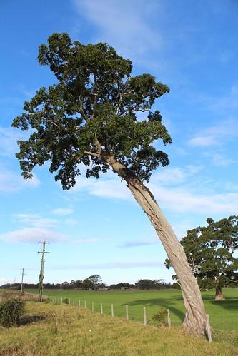 Deciduous Fig (Ficus henneana)