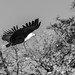African Fish Eagle // Chobe National Park