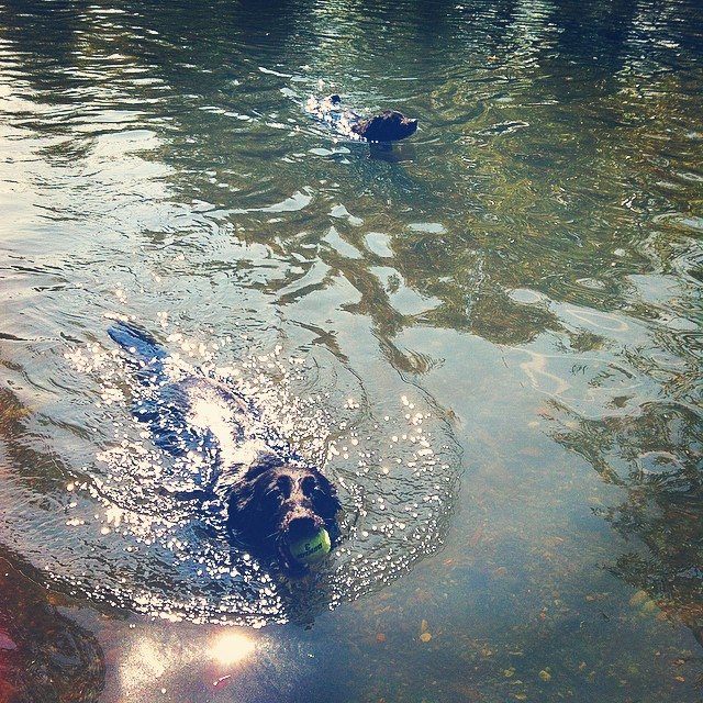 Maggie and Bear Cub having a swim at Marymoor Park.