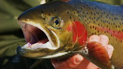 common rudd(0.0), recreational fishing(0.0), red snapper(0.0), animal(1.0), trout(1.0), fish(1.0), fish(1.0), marine biology(1.0), cutthroat trout(1.0), fauna(1.0), close-up(1.0),