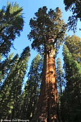 General Sherman Tree - Sequoia National Park