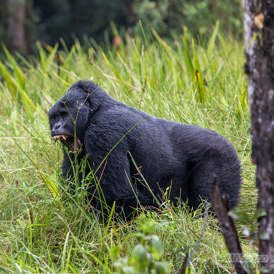 'Little bro' silverback doesn't appear to be as friendly.