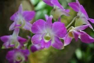 Obraz Bogor's Botanical Garden. orchid garden indonesia botanical java orchidaceae orchidee bogor botanische tuinen