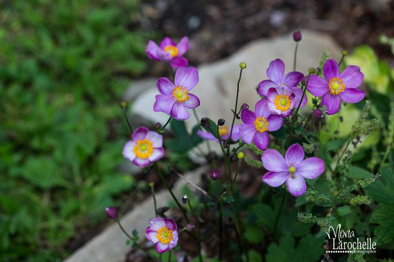 Anemone hupehensis Pretty Lady Susan 15279199562_10a2bd28aa_c