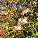 #springblossoms #Australiangarden