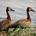 Dendrocygna viduata / White-faced Whistling-Duck / Yaguaso Cariblanco.