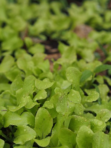 lettuce, self-sown by Lettuce Bolted Sr.