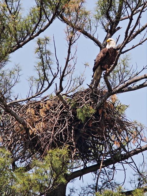 Bald Eagle standing guard Mooseheart 20140521