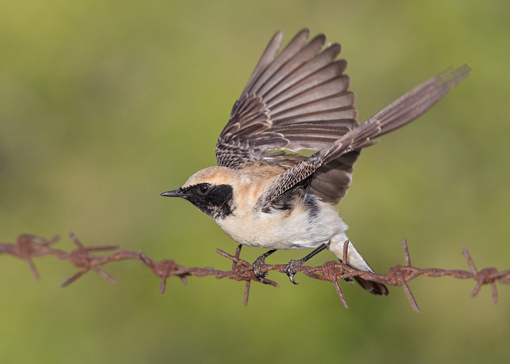 Black-eared Wheatear 52014-05-05 (1)