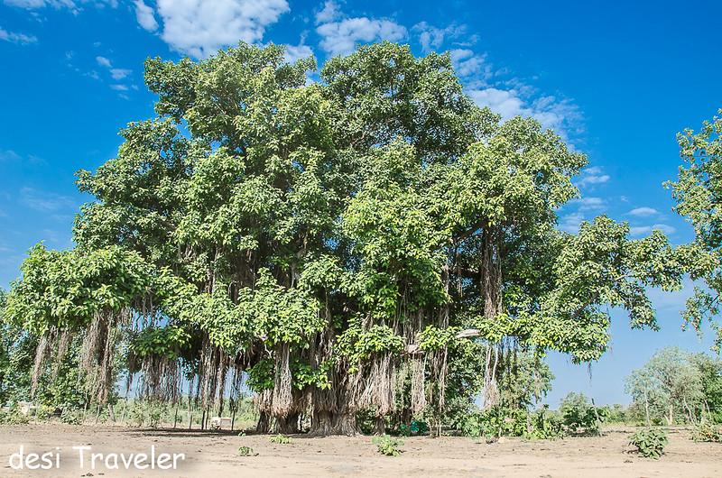 Large Banyan Tree Madhya Pradesh