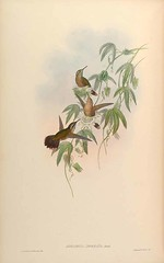 Passiflora tucumanensis - circa 1861