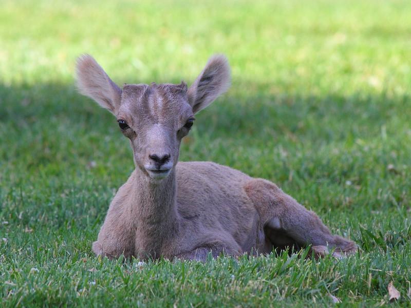 IMG_3752 Desert Bighorn Sheep Lamb