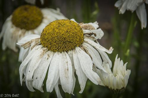 212-365 Waning Summer Bloom
