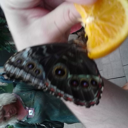 Butterfly and orange slice #princeedwardisland #pei #newglasgow #butterfly #orange #gardensofhope