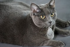 animal, british shorthair, small to medium-sized cats, pet, mammal, fauna, chartreux, cat, korat, whiskers, russian blue, domestic short-haired cat,
