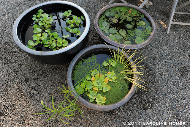 mini-ponds at Pomarius Nursery