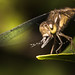 Small photo of Dragonfly eating Aedes albopictus