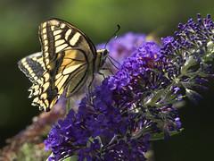 De koninginnenpage in de tuin op de vlinderstruik