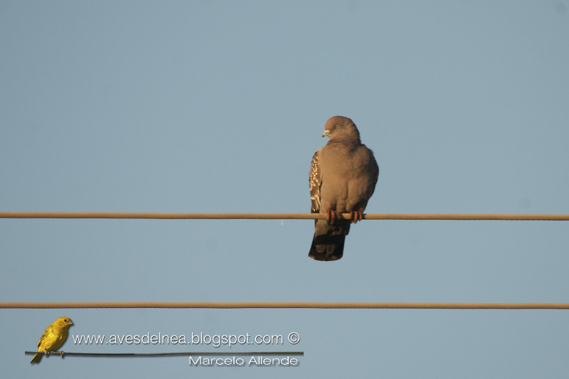Paloma manchada (Spot-winged Pigeon) Patagioenas maculosa