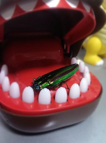 玉虫 タマムシ