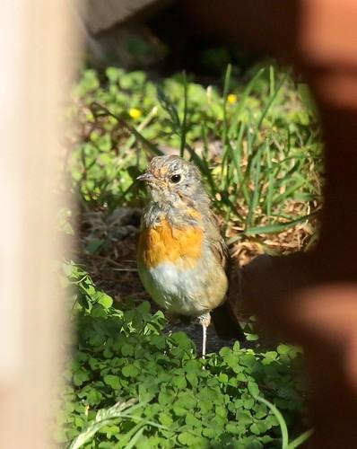 Juvenile Robin IMG_1577