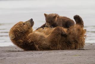 Alaska Brown Bear and cub nursing, Katmai, July 2014
