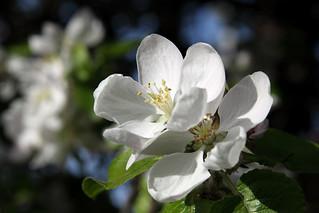 Flower of the apple tree