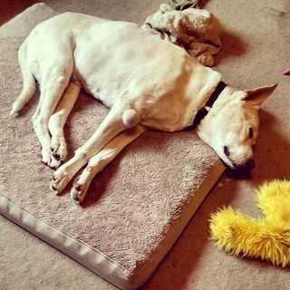 I'd like to join Zeus for a nap this morning.... Exhausted. #dogstagram #instadog #sleepy #nap #dogbed #seniordog #ilovemyseniordog #ilovebigmutts #love