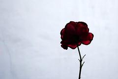 Rose ~ Paris ~ MjYj