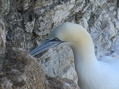 animal, fauna, gannet, beak, bird, wildlife,