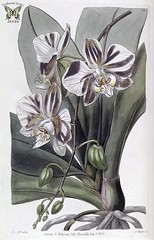 Phalaenopsis aphrodite. Three inch flowers winter to spring. Plants grow high in the trees of forests of Taiwan, China, and the Phillippines. Edwards's Botanical Register, vol. 24, (1838) [S.A. Drake]