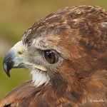 Harris Hawk display 9th Aug 2014 (10)