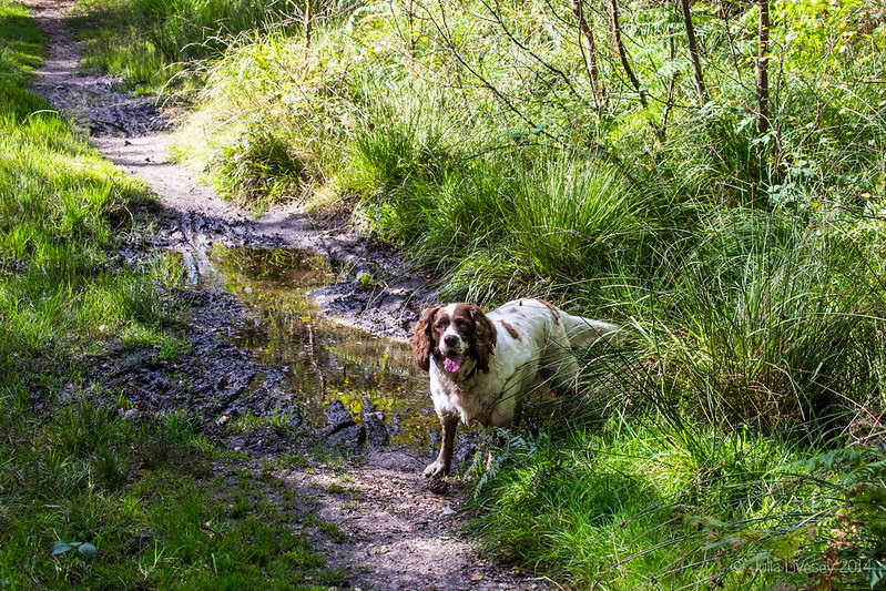 Max in Wareham Forest