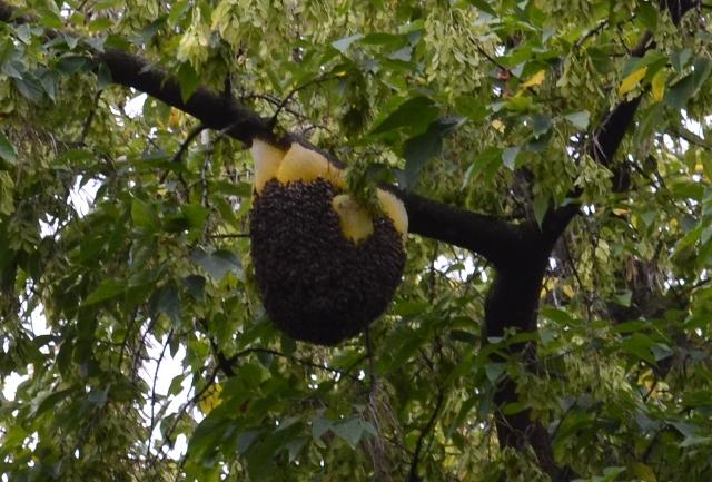 """Результат пошуку зображень за запитом """"рятувальники зняли бджолиний рій"""""""