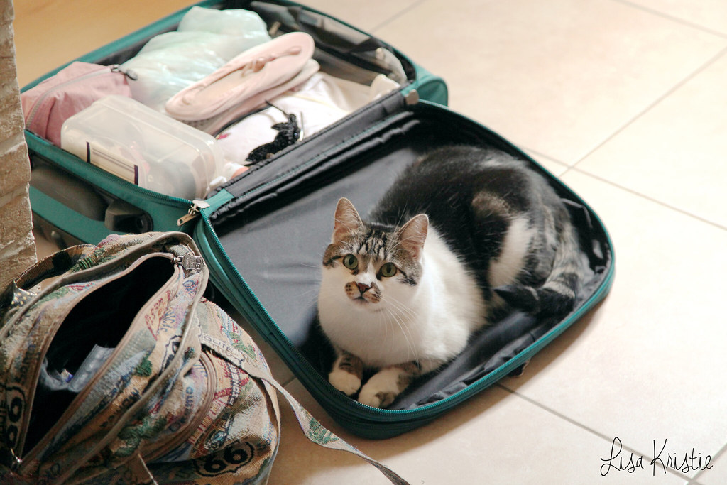 cat in luggage suitcase funny cute packing