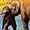 Bathing the Baby Location: Elephant Orphanage Pinnawela Sri Lanka  #elephants #srilanka  Get prints, iPhone cases etc of the photos @photoprint20