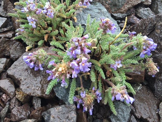 Alpine flowers, m1013