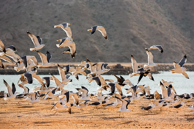 Sea gulls at a beach in Oman.