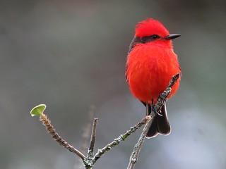 Pyrocephalus rubinus / Titiribí pechirrojo / Vermilion Flycatcher (male)