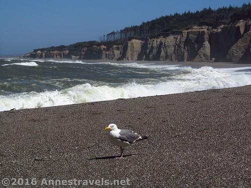 A sea gull on Floras Beach, Oregon