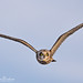 Head On (Short-Eared Owl) by Mitch Vanbeekum Photography