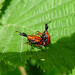 Small photo of Apoderus coryli. Hazel Leaf Roller