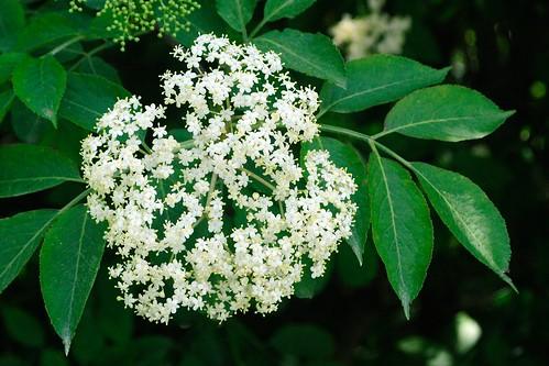 Sureau noir (Sambucus nigra, Adoxaceae, ex caprifoliacée)