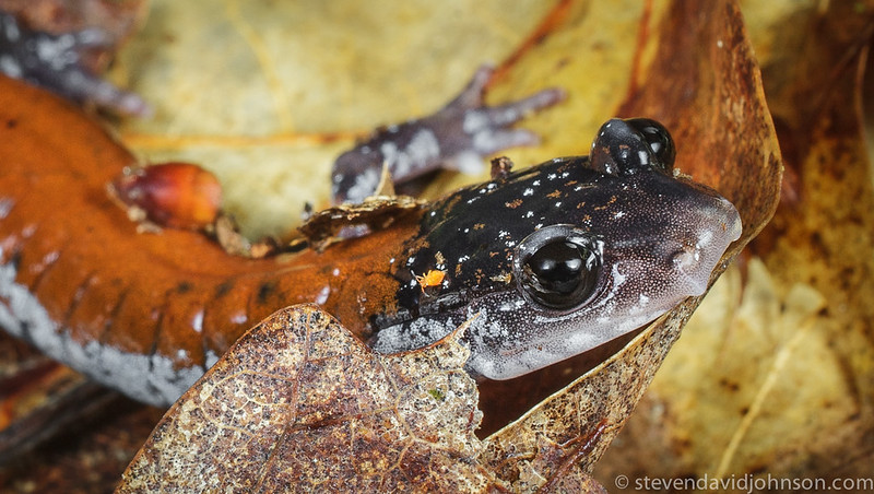 Yonahlossee Salamander, Jefferson National Forest (detail)